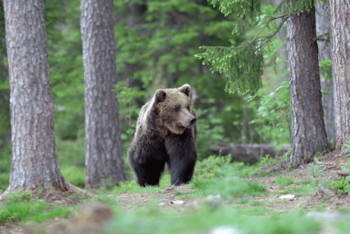 Bears in Belitsa Park | Lucky Bansko