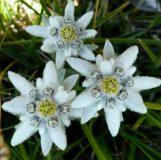 Растителен свят парк Пирин   Lucky Bansko